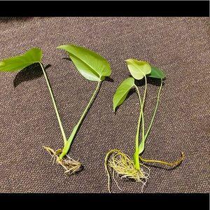 2 monstera plants (live)